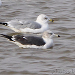 Black-tailed Gull and Ring-billed Gull