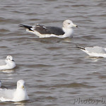Black-tailed Gull, Ring-billed and Bonaparte's Gulls